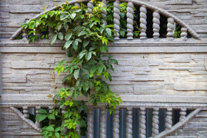 Девичий виноград на бетонном заборе